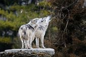 Howling Mexican Gray Wolves
