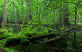 Moss Wraped Oak Trees Lying In Water
