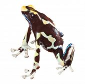 sapo venenoso com brilhantes cores bonito anfíbios da Amazônia floresta dendrobates animal animal de estimação t