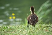 Duckling at pond