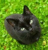 Black Cat On Green Grass From Above Look Up poster