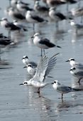 Terns & Seagulls