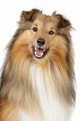 picture of sheltie  - Shetland sheepdog sheltie - JPG