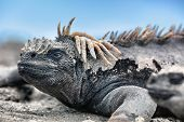 Galapagos Iguana lying in the sun on rock. Marine iguana is an endemic species in Galapagos Islands  poster