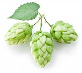 picture of hop-plant  - branch of hops on a white background - JPG