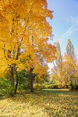 Autumn Landscape With Bright Yellow Maples And Fallen Leaves On Green Grass poster