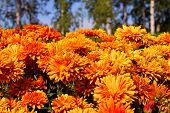 Early Autumn Orange Chrysanthemum Flowers On Green Birch & Blue Sky Background. Colorful Chrysanthem poster