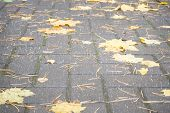 Autumn Yellow Maple Leaves On Pavement In City Rainy Weather. Fallen Bright Leaves On City Park. poster