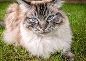 Pedigree Ragdoll Cat Sitting Outdoors On A Grass Lawn. Seal Lynx Tabby Coat. Cat Portrait poster