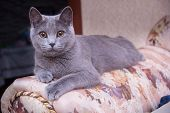 Cat Relaxing On The Couch. Grey Cat Lying On The Sofa. Cat Looks Forward poster
