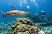 Flinder Shark