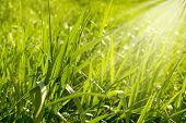 Top View Of Fresh Spring Grass With Green Bokeh And Sunlight .spring Or Summer Abstract Nature Backg poster