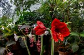 Red Lily Or Amaryllis Flower Green Leaf In Floral Garden. Amaryllis Hippeastrums Flower Or Fresh Red poster