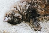 Cute Sleeping Cat. Grey Kitty Takes A Nap. The Cat Is Lying On White Fluffy Blanket. Cuteness, Innoc poster