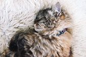 Beautiful Tabby Cat Sleeps On White Fluffy Blanket. Black Cat Collar Around Neck. Persian Cats. Taki poster