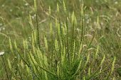 Reseda Luteola, Known As Dyers Rocket, Dyers Weed, Weld, Woold, And Yellow Weed poster