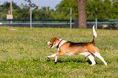 Run Run de Beagle!