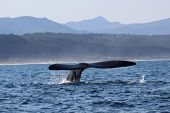 Whale Tail Of A Southern Right Whale In Plettenberg Bay poster
