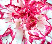 Macro of pink and white flower full frame pic.