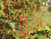 stock photo of wild-brier  - Wild rose hip shrub in nature. Red ripe fruits