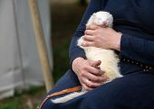 Woman Hands Holding Adorable White Ferret Outdoors. Furry Silver Ferret Sleeping On Woman Knees Outs poster