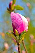 One Magnolia Flower Closeup
