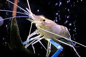 Giant Freshwater Prawn Or Giant River Shrimp In Tank. poster
