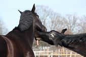 Two Black Horses Playing