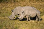 Mother And Baby White Rhino