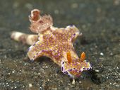 Nudibranch ceratosoma tenue