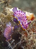 Nudibranch mexichromis macropus