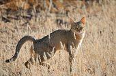 Wildcat Africano