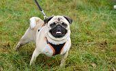 Pug On The Leash