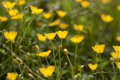 Field with yellow Californian poppies full frame
