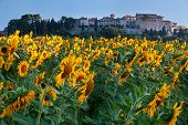 image of hilltop  - Medieval hilltop town of MonteCastello di Vibio beyond a field of sunflowers in early morning light - JPG