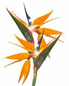 Bird Of Paradise Isolated