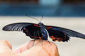 Closeup Of Great Mormon Butterfly