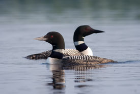 stock photo of loon  - Photograph of a pair of Common Loons swimming together on the still waters of a northwoods lake in Wisconsin - JPG