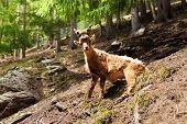Chamonix Ibex