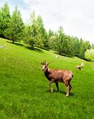 Chamois In The Mountain Meadow