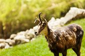 Chamois In The Mountains