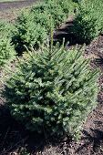 Pine tree production