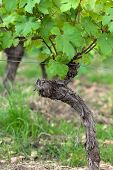 Old vines in the flowering season. Tuscany Italy