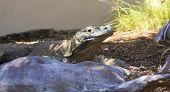 A Komodo Dragon In A Zoo Enclosure