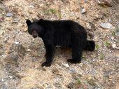 Bear Staring