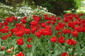 Die Strahlbreite von Tulpen