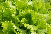 Fresh green lettuce. Abstract natural green backdrop.