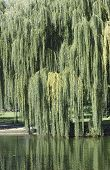 image of weeping willow tree  - A Weeping Willow Tree on a beautiful - JPG