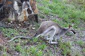 Grey Kangaroo 3