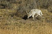 stock photo of coyote  - A lone coyote carefully stalking it prey in Yellowstone National Park - JPG